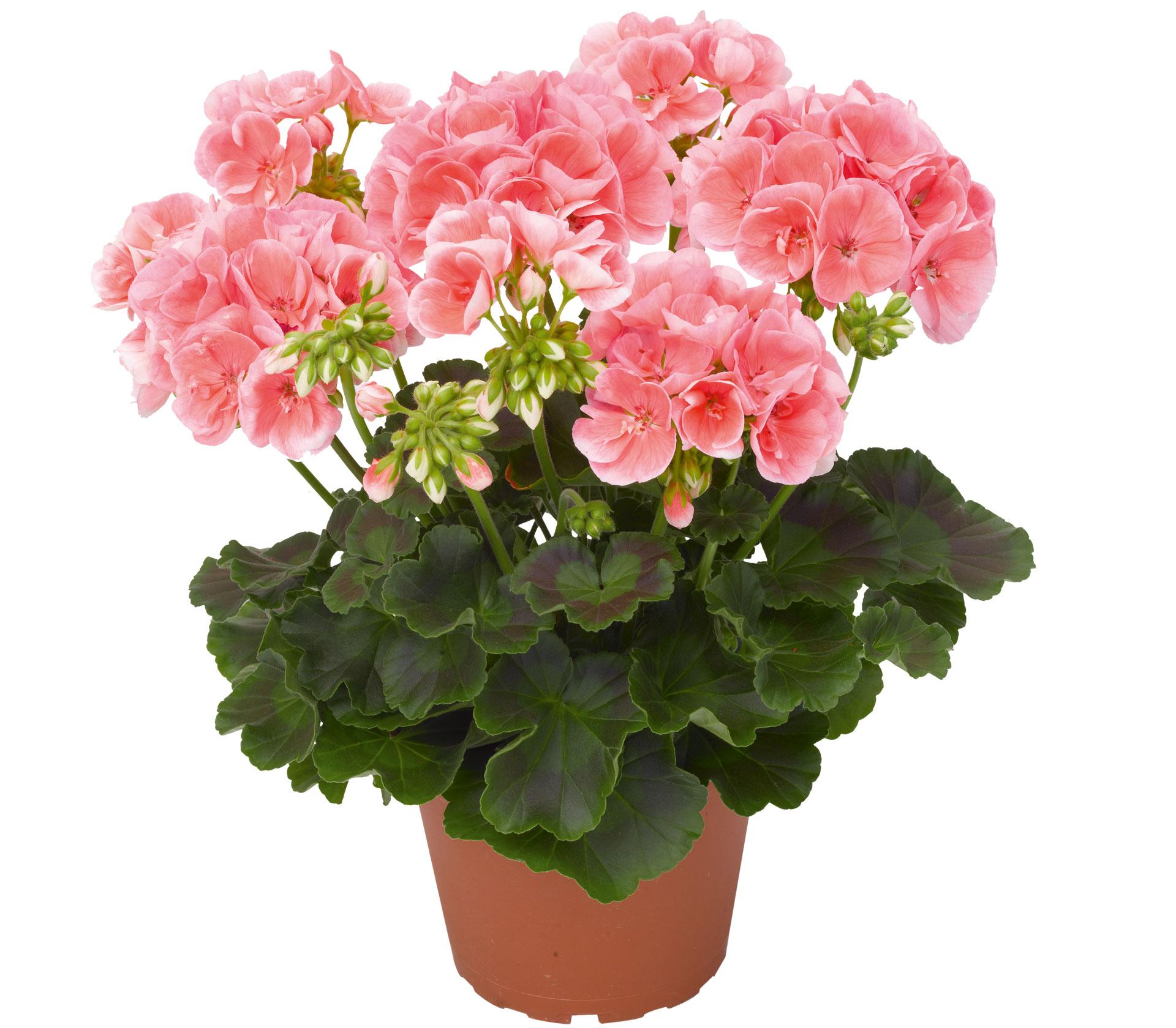 Чтобы герань всегда радовала цветением, нужна 1 капля ... - Это ...